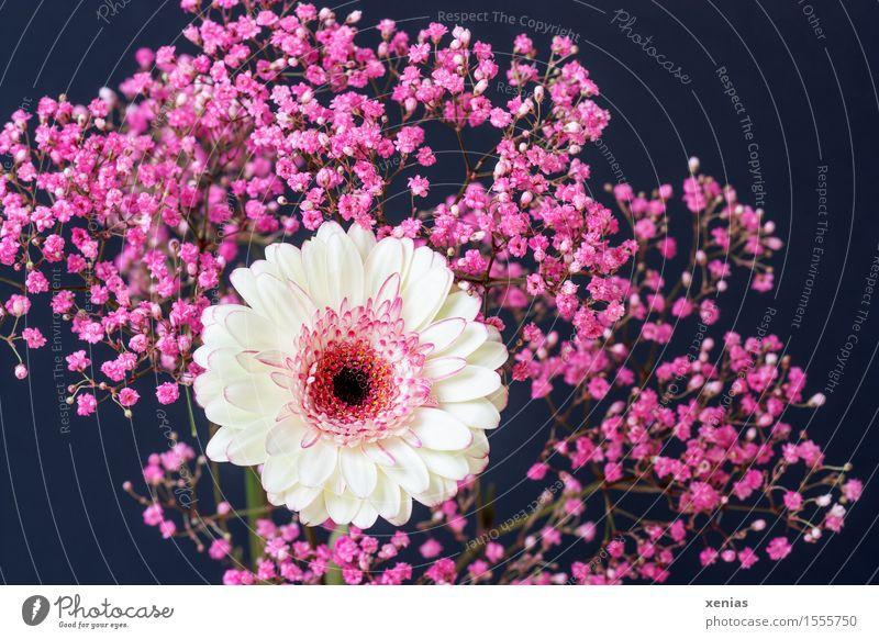 weiße Gerbera mit rosa Schleierkraut vor schwarzem Hintergrund Pflanze Frühling Sommer Blume Sträucher Blüte dunkel Trauer dunkler Hintergrund Trauerfeier