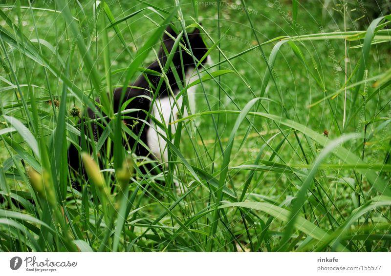 auf der Lauer Wiese grün Katze lau Jagd Gras Halm Hauskatze Detailaufnahme Säugetier