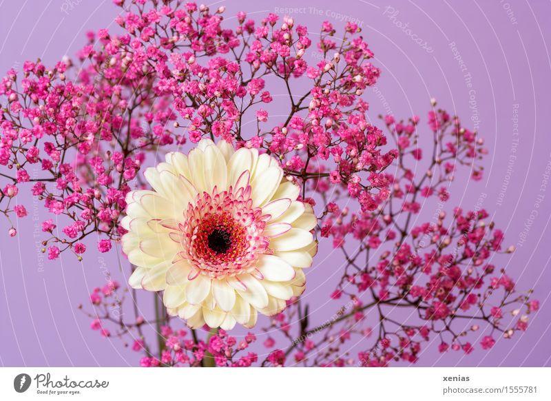 weiße Gerbera mit rosa Schleierkraut vor violettem Hintergrund Pflanze Blume Blüte Gypsophila Korbblütler Gipskraut violetter Hintergrund Nahaufnahme Tag xenias