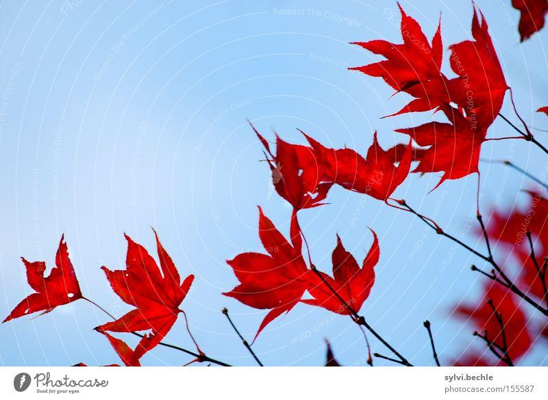 autumn I Freiheit Natur Pflanze Himmel Herbst Baum Blatt dehydrieren alt schön blau rot Vergänglichkeit Ast zart Jahreszeiten emporragend filigran Farbfoto