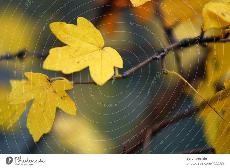 autumn III schön Natur Pflanze Herbst Baum Blatt festhalten dehydrieren Wachstum braun gelb Vergänglichkeit Wandel & Veränderung Ast Zweig zart Jahreszeiten 2