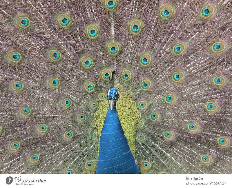 fotogen Tier Vogel Pfau 1 Brunft schön blau grün Tagpfauenauge Pfauenfeder Farbfoto Außenaufnahme Menschenleer