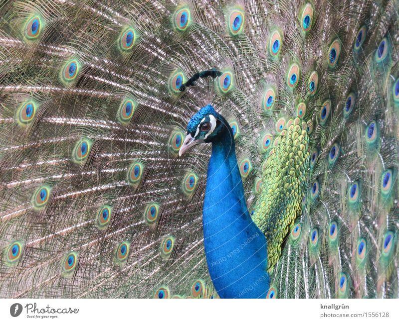 Poser Tier Pfau 1 Brunft schön blau grün Pfauenfeder Vogel Farbfoto Außenaufnahme Menschenleer