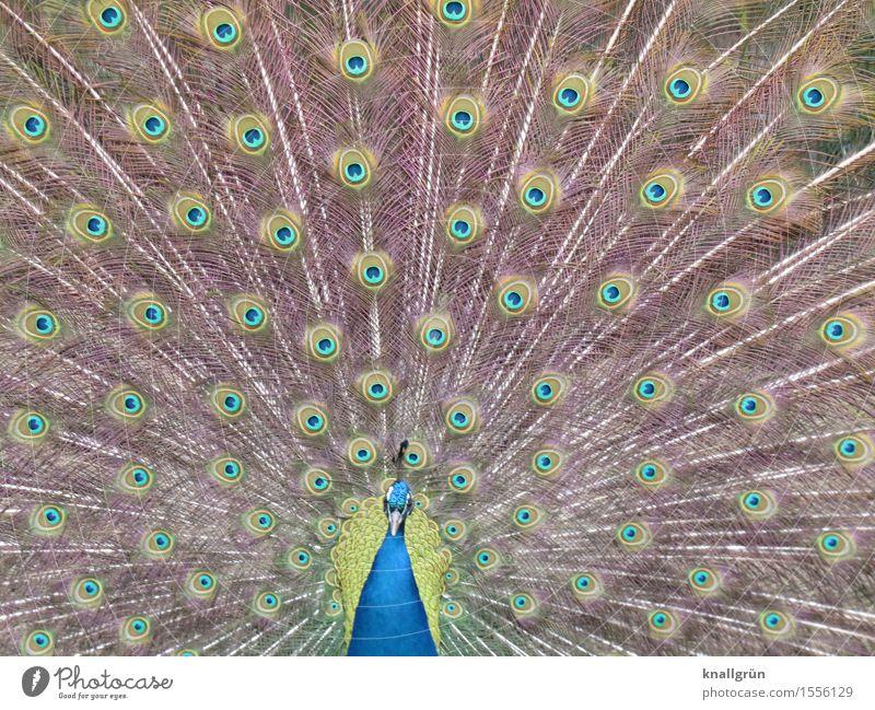 Riesenrad schön Tier Vogel Pfau Brunft Tagpfauenauge Pfauenfeder