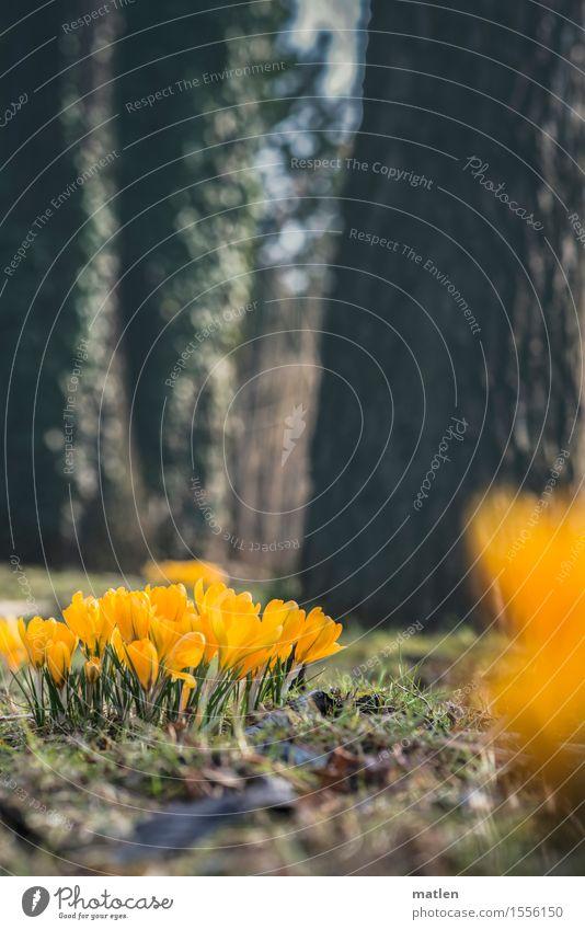 kro.kuss Natur Pflanze Frühling Schönes Wetter Baum Gras Efeu Blatt Blüte Park Wiese Blühend Wachstum frisch braun gelb grün Krokusse Farbfoto Außenaufnahme