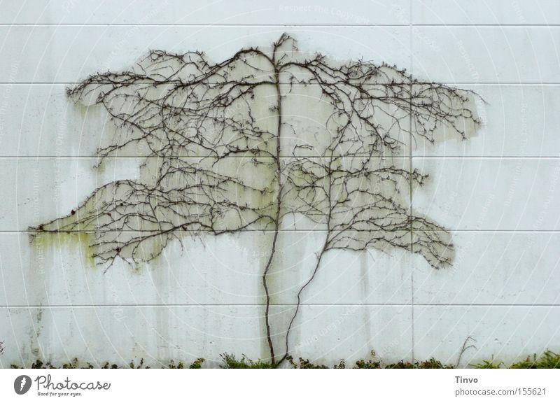 Ohne Stamm-Baum Winter Einsamkeit Wand Tod Traurigkeit trist Wüste Wein Furche kahl Wurzel verzweigt Kletterpflanzen Weinranken