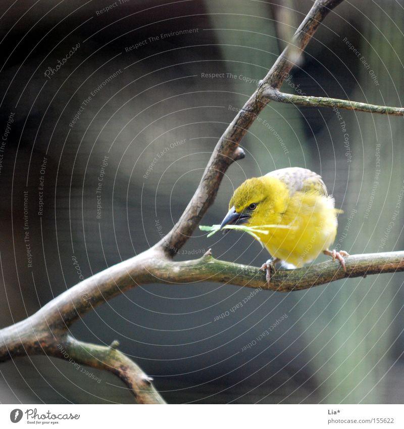 Sammler Luftverkehr Vogel Sammlung gelb Ast Zweig Quadrat Nestbau Feder Schnabel Farbfoto Außenaufnahme