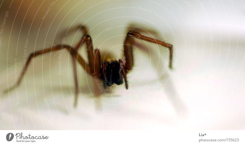 auf der Lauer Nahaufnahme Makroaufnahme Spinne krabbeln Ekel hässlich Angst Schrecken lau Beine Schnurrhaar Jäger Raubspinne flüchten Panik kellerspinne