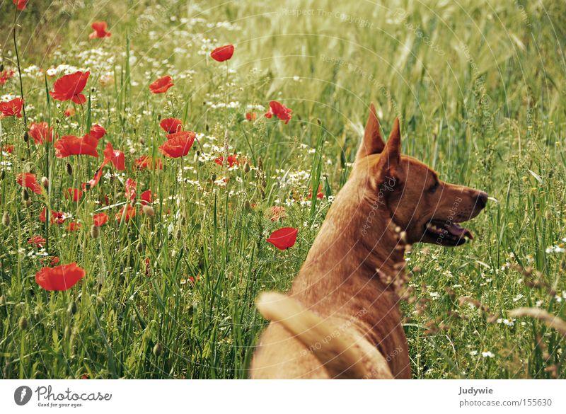 Sommerhund. Blume grün Freude Ferien & Urlaub & Reisen Tier Erholung Gefühle Gras Freiheit Hund orange frei Mohn Säugetier