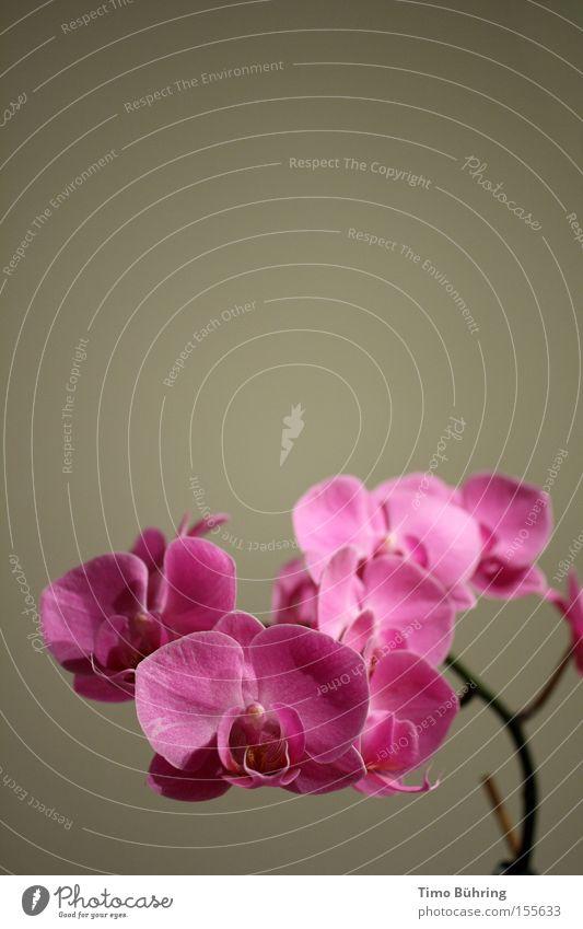 Pink Panther 2 Orchidee Pflanze rosa grau Innenaufnahme Blume Gefühle Nahaufnahme