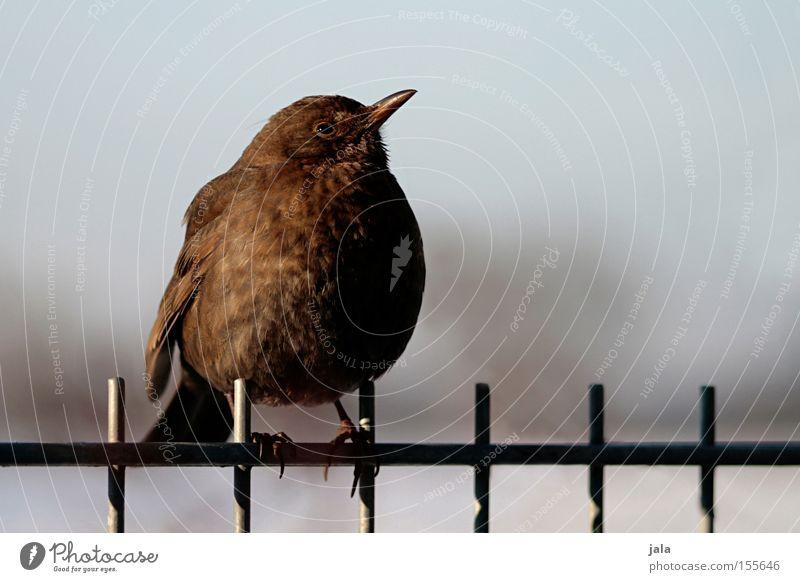 Kommt ein Vogerl geflogen... Natur Winter Tier Garten Vogel Zaun Amsel Singvögel dunkelbraun Drossel Wildvogel