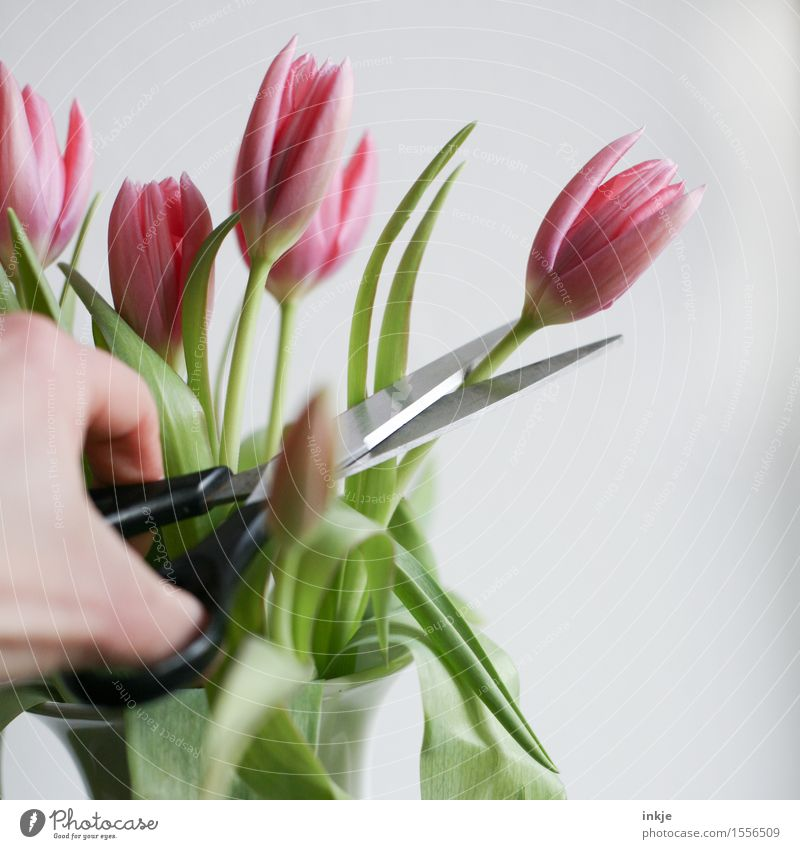 Schnittblumen Lifestyle Stil Dekoration & Verzierung Hand Frühling Blume Tulpe Blumenstrauß Schere Blühend rosa Überleben Vergänglichkeit abschneiden zerstören