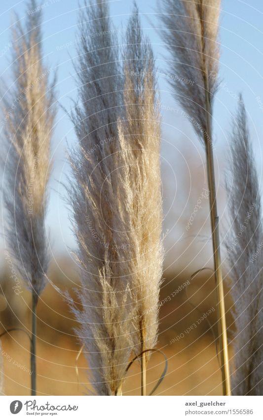 Soft Touch Natur Pflanze Winter Schönes Wetter Gras Moor Sumpf Teich ästhetisch schön weich gold weiß Schilfrohr Unschärfe Farbfoto Außenaufnahme Tag