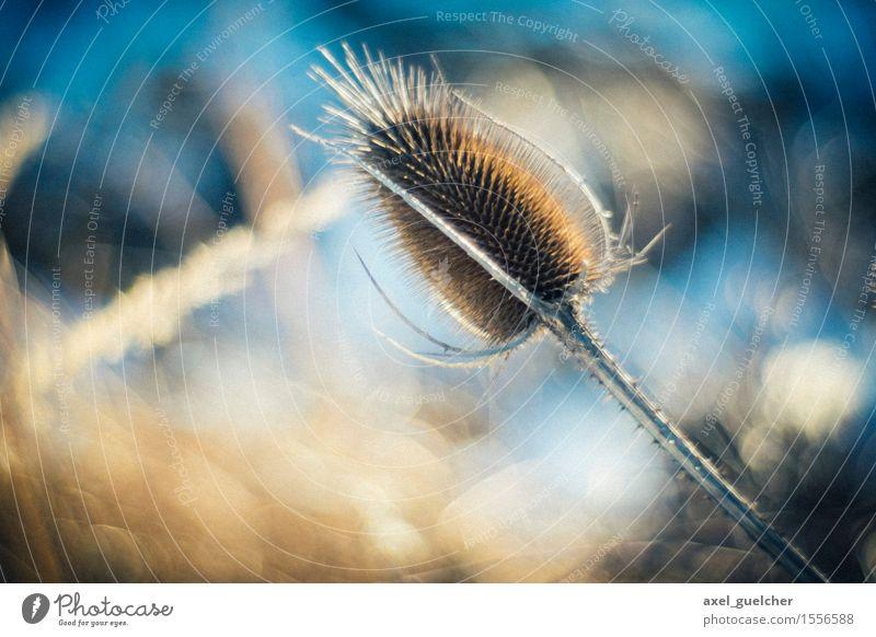 Bokeh Natur Pflanze Sträucher verblüht dehydrieren alt blau gelb Farbfoto Nahaufnahme Detailaufnahme Makroaufnahme Schwache Tiefenschärfe