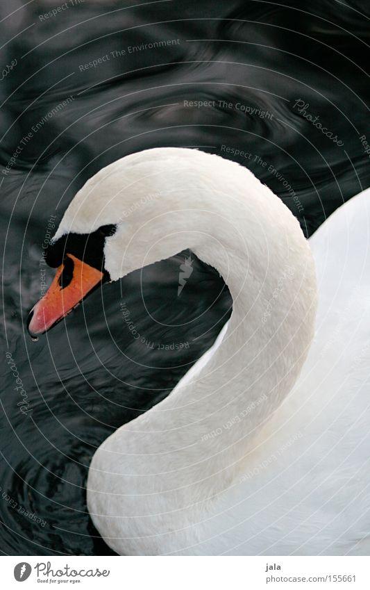 liebesvogel #3 Wasser schön weiß Tier Kopf Vogel elegant ästhetisch Feder Hals Schnabel Stolz Schwan