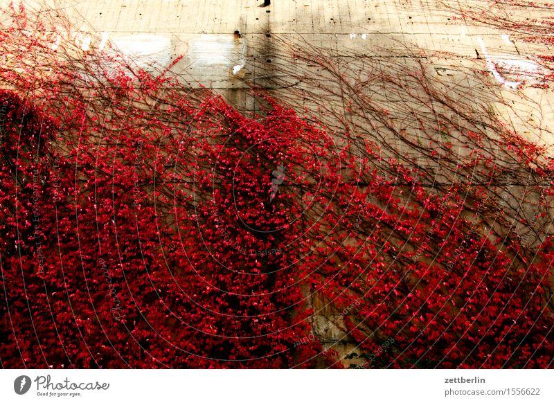 Herbst Herbstlaub Blatt Wein Rotwein rot Haus Fassade Ranke Kletterpflanzen Pflanze hausbegrünung Sauerstoff ökologisch Jahreszeiten Stadt Stadtleben Beton