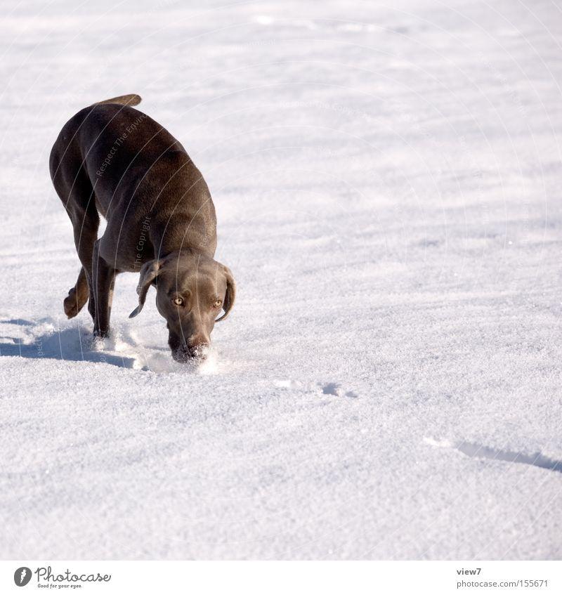 Suchhund Winter Schnee Schönes Wetter Tier Hund Bewegung laufen rennen elegant Freizeit & Hobby Suche Geruch Weimaraner Schneedecke Säugetier Nase Jagdhund