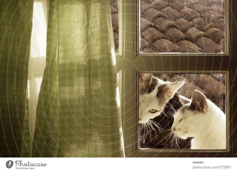 am küchenfenster Fenster Katze Zusammensein Tierpaar Neugier Bauernhof Vorhang Doppelbelichtung Haustier Säugetier Hauskatze ländlich Katzenbaby Landleben