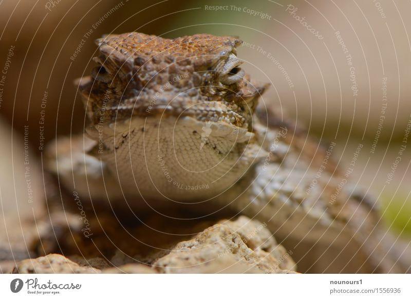 Krötenechse Tier Wüste Wildtier Tiergesicht Schuppen Zoo 1 liegen gruselig Neugier stachelig Wärme wild braun Reptil Echsen Panzer Farbfoto Innenaufnahme