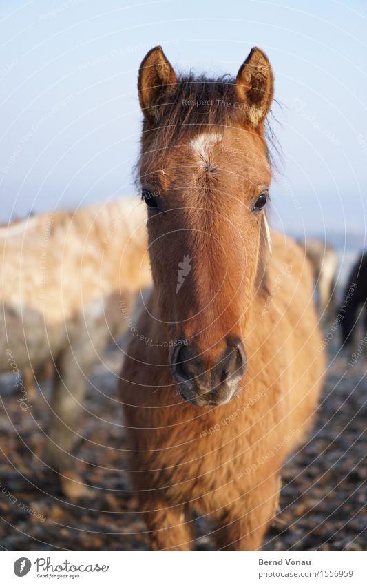 pferdle Feld Tier Pferd Tierjunges Gefühle authentisch braun Fell Ohr Blick direkt Neugier Fohlen niedlich schön Nüstern begegnen kuschlig weich Freundlichkeit