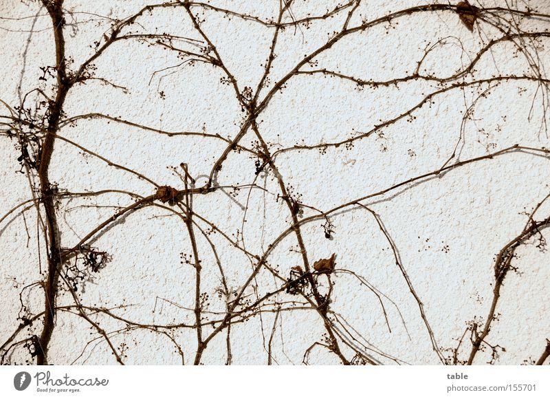Netzwerk Pflanze Winter Blatt kalt Wand Mauer Netzwerk Wein Verbindung Gesellschaft (Soziologie) Zweig Ranke verzweigt