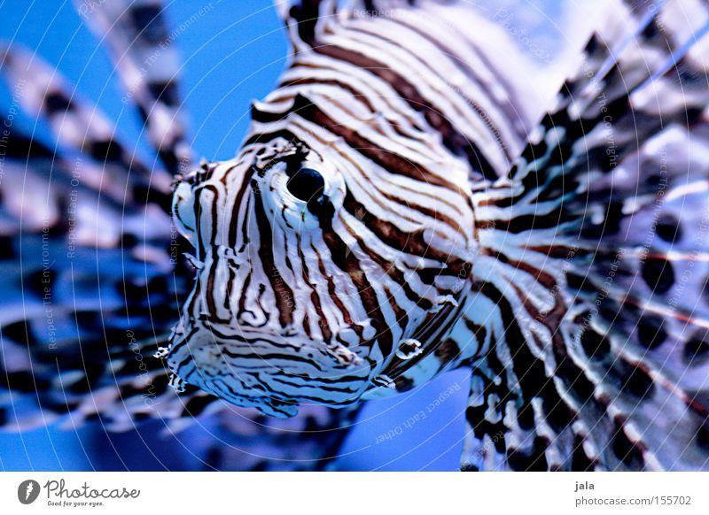 AQUARIUM EXPERIENCE #1 Rotfeuerfisch Fisch Meer Strahlenfeuerfisch Aquarium blau Nahaufnahme Gift Meerwasser Unterwasseraufnahme Wasser