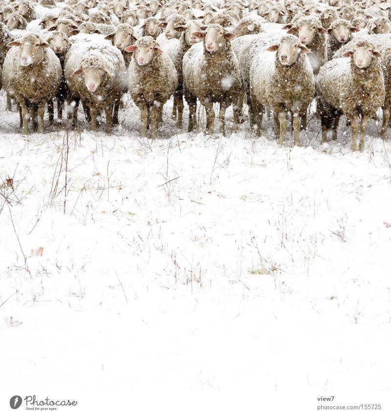 Das gemeine Winterschaf ll. Schnee Schneefall Nutztier Tiergruppe Herde beobachten entdecken kalt Interesse Langeweile dumm Natur Stimmung Schaf Wolle Weide