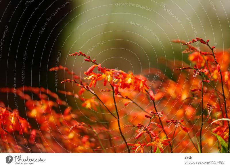 Kenia-Koalition Natur Frühling Sommer Pflanze Blume Sträucher Blatt Blüte Grünpflanze montbretien Montbretie Garten Park Wiese Republik Irland Blühend Wachstum