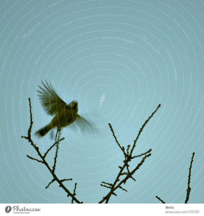 Meisenwinter-Abflug Natur blau Pflanze Tier Vogel klein Umwelt fliegen frei Flügel natürlich Abheben Geäst Zweige u. Äste ausbreiten Meisen