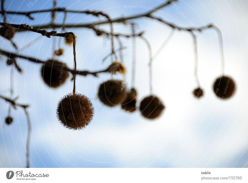 Kugelbaumkugeln Laubbaum Samen Ast Zweig hängen Himmel Wolken Winter blau weiß Platane ahornblättrige Platane Platanengewächse Parkbaum Strassenbaum