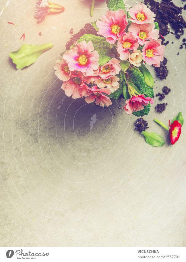 Primrose auf Stein Hintergrund Natur Pflanze Sommer Blume Blatt gelb Blüte Stil Garten rosa Design Freizeit & Hobby Dekoration & Verzierung Tisch Blühend Beton