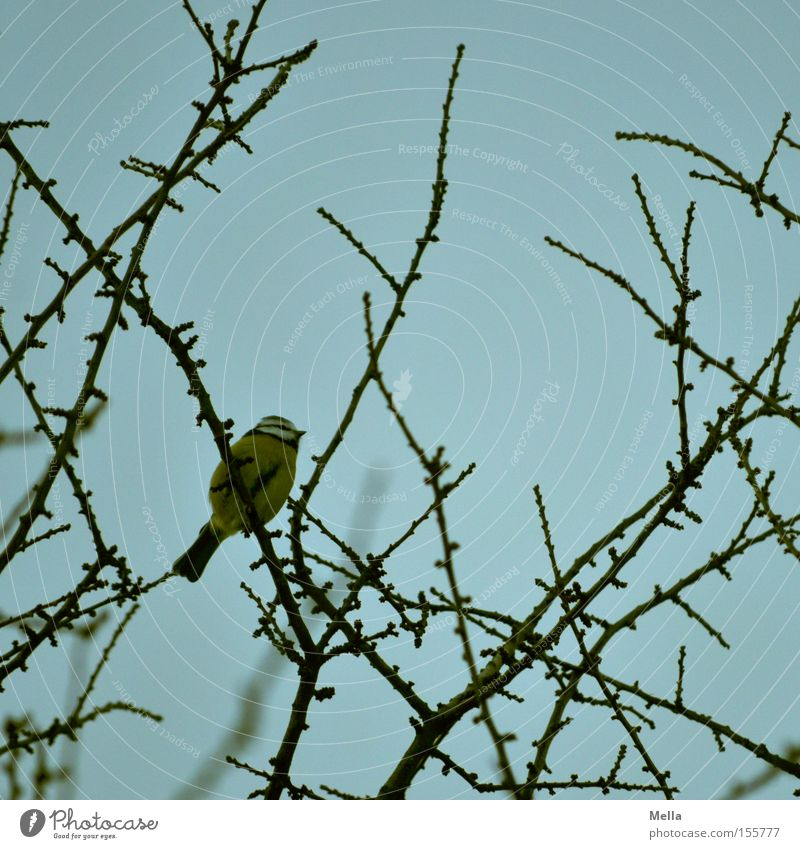 Meisenwinter - Sitzenbleiber Natur Baum blau Pflanze Tier Vogel klein Umwelt sitzen natürlich Baumkrone Geäst hocken Zweige u. Äste Kohlmeise