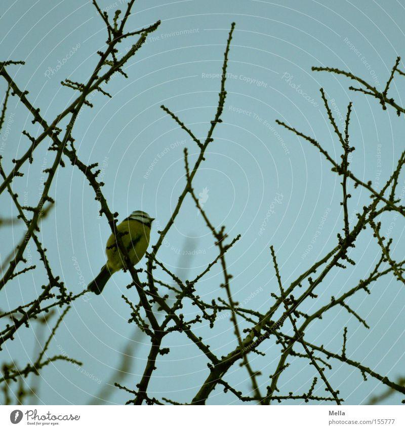 Meisenwinter - Sitzenbleiber Umwelt Natur Pflanze Baum Zweige u. Äste Tier Vogel Kohlmeise 1 hocken sitzen klein natürlich blau Geäst Baumkrone Farbfoto