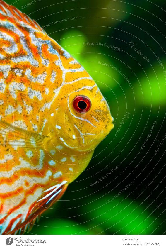 Diskus Fisch Fluss Zoo Aquarium Bach König Südamerika Ausstrahlung Barsch Diskusfisch Buntbarsch Aquaristik