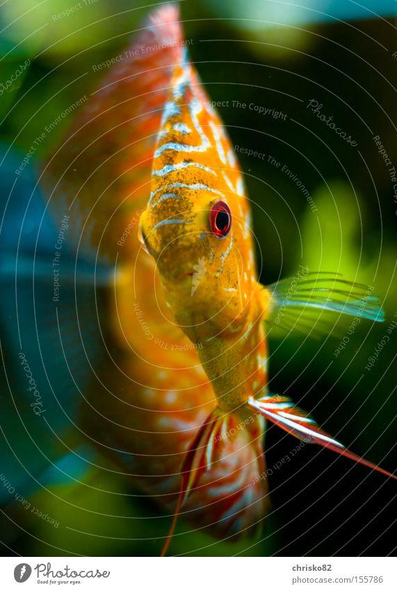 Diskus II Fisch Fluss Zoo Aquarium Bach König Südamerika Ausstrahlung Barsch Diskusfisch Buntbarsch Aquaristik