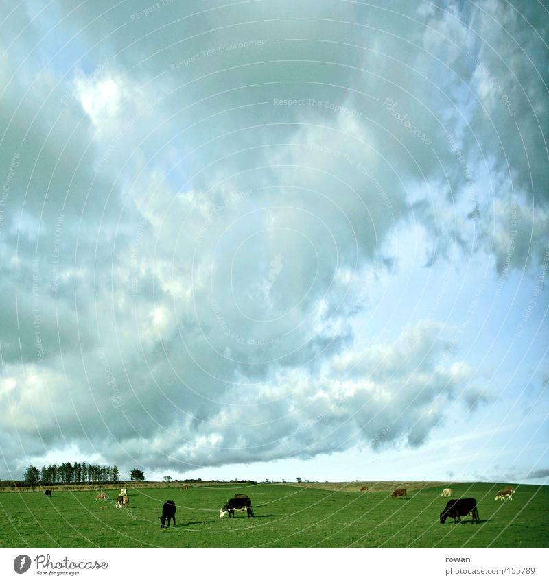 slow living Himmel grün Wolken Wiese Gras Weide Landwirtschaft Kuh Amerika Säugetier ökologisch Fressen Republik Irland Landleben Rind Milchkuh