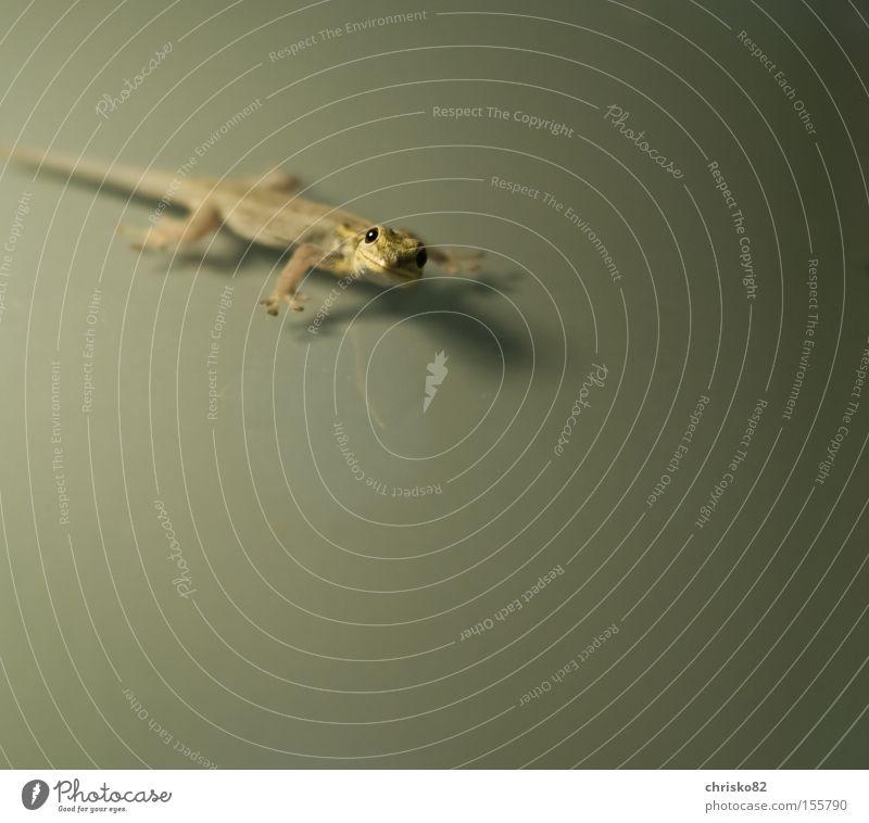 smiling gecko grün lachen Frieden Asien Klettern Neugier Freundlichkeit krabbeln Reptil Maserung friedlich Echsen Schuppen Gecko Echte Eidechsen