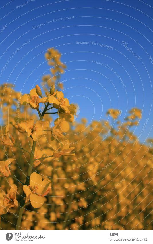ich möchte sommer. Farbfoto Sommer Pflanze Wärme Blume Feld Blühend blau gelb grün Raps Rapsfeld