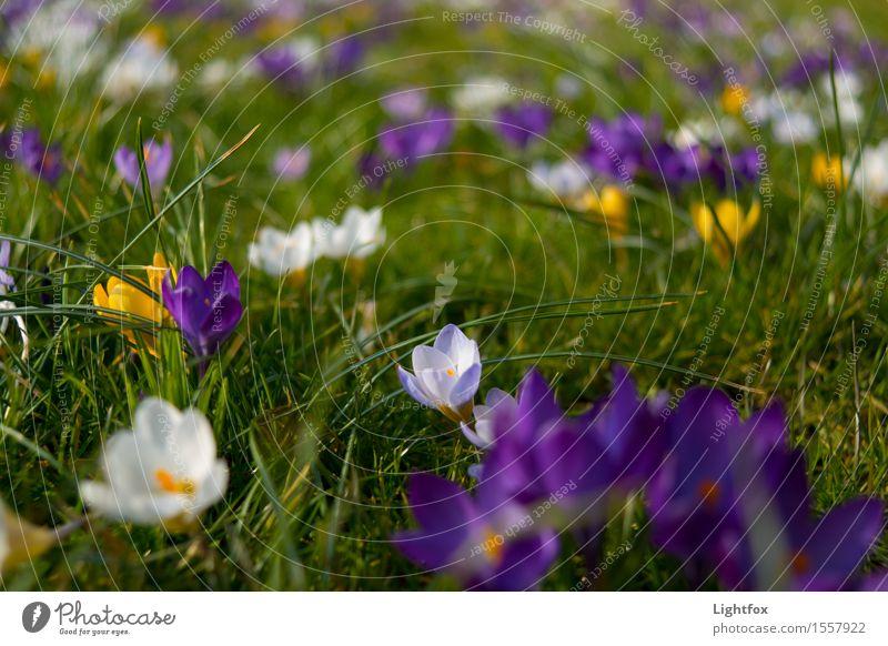 Frühhhhling Umwelt Natur Frühling Pflanze Krokusse Garten Park blau grün weiß Stimmung Hoffnung Glaube Religion & Glaube Ostern Osternest Feste & Feiern