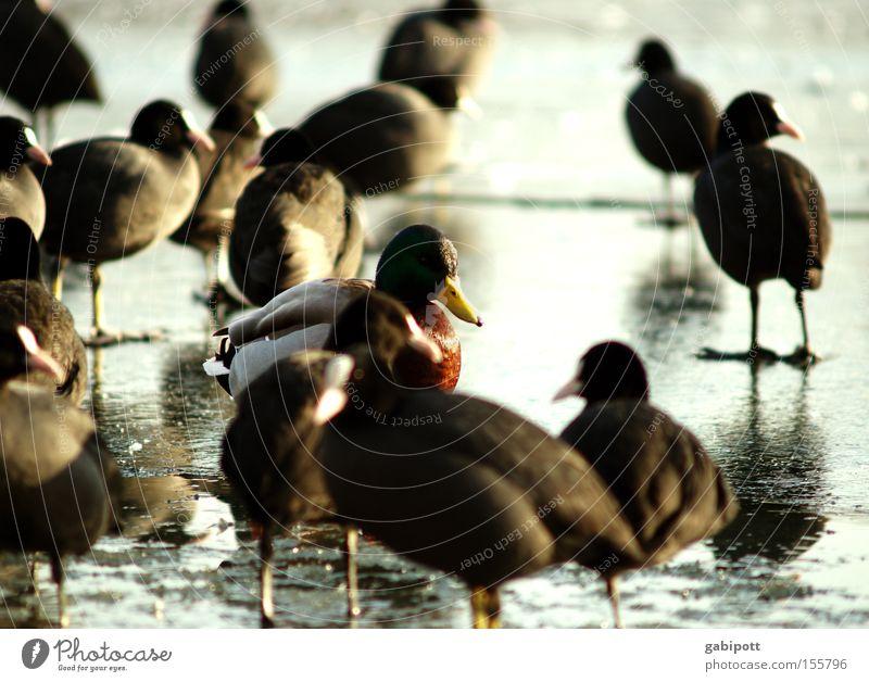 fremd ist der fremde nur in der fremde Farbfoto Außenaufnahme Sonnenlicht Schwache Tiefenschärfe Natur Tier Winter Eis Frost See Vogel Ente Erpel Blässhuhn
