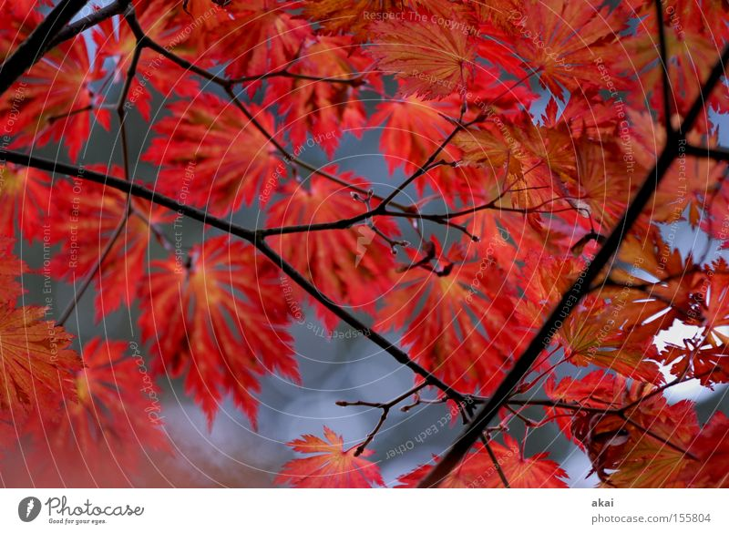 Rouge Blatt Herbst Ast Landwirtschaft Ahorn