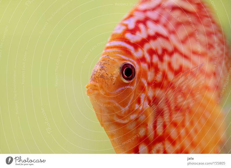 AQUARIUM EXPERIENCE #2 Barsch Buntbarsch Diskusfisch Fisch Meer Aquarium Makroaufnahme Nahaufnahme Meerwasser Unterwasseraufnahme Wasser Symphysodon discus
