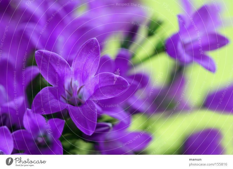 Frühlingsboten II Glück schön Gartenarbeit Gärtnerei Natur Sommer Pflanze Blume Blüte Glockenblume Stauden Frühlingsblume Frühlingsfarbe Park Blühend