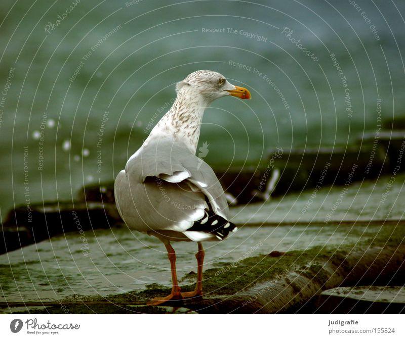 Möwe Silbermöwe Ostsee Meer Küste Wasser Buhne spritzen Farbe Strand Vogel