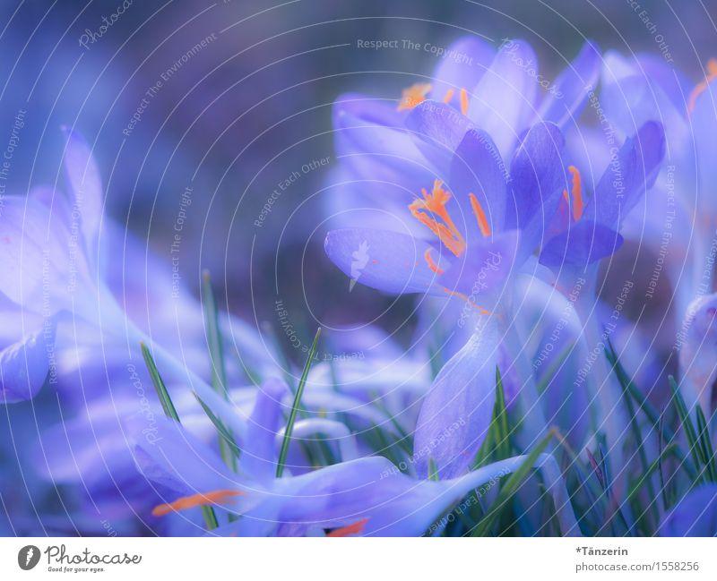 Frühling! Natur Schönes Wetter Pflanze Blüte Krokusse ästhetisch Fröhlichkeit schön natürlich blau orange Farbfoto mehrfarbig Außenaufnahme Makroaufnahme