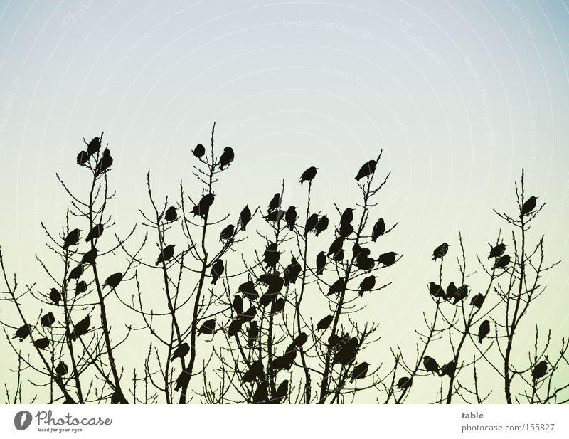 Meeting Himmel Baum Freude Winter kalt Vogel Zusammensein Kommunizieren Sitzung singen Krach Versammlung Vogelschwarm Schwarm Amsel umgänglich