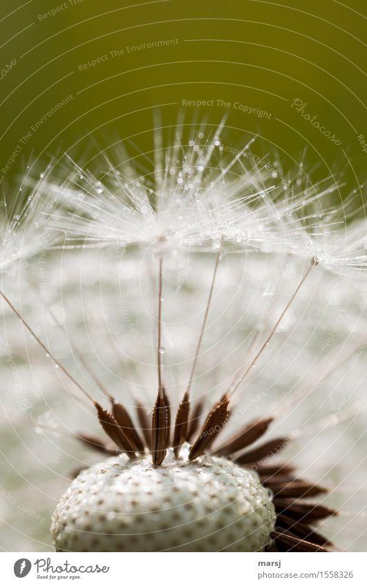 Natürliches Dartspiel Natur Wassertropfen Blume Wildpflanze Samenpflanze Löwenzahn dünn authentisch einfach Spitze natürlich Fortpflanzung Farbfoto