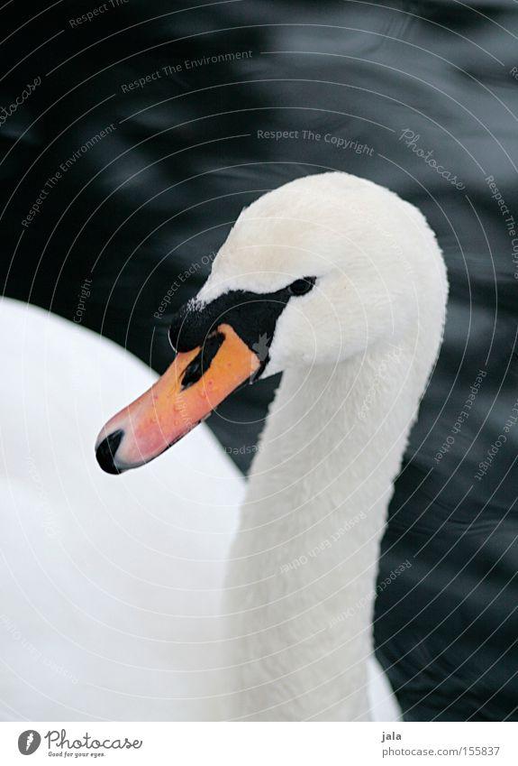 liebesvogel #4 Schwan elegant Tier Schnabel Hals Vogel Feder weiß schön ästhetisch Stolz Kopf Wasser