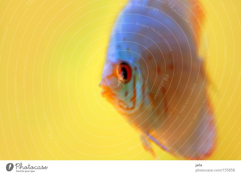 AQUARIUM EXPERIENCE #3 Wasser Meer gelb Fisch Aquarium Meerwasser Barsch Diskusfisch Buntbarsch