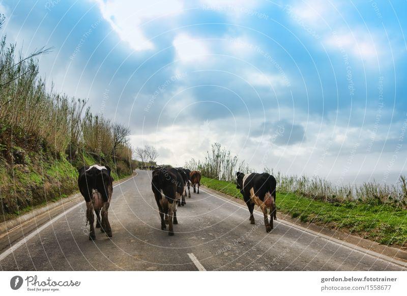 Kuhwanderung Landschaft Himmel Wolken Sommer Wetter Schönes Wetter Blume Sträucher Berge u. Gebirge Straße Tiergruppe Beton gehen blau schwarz weiß